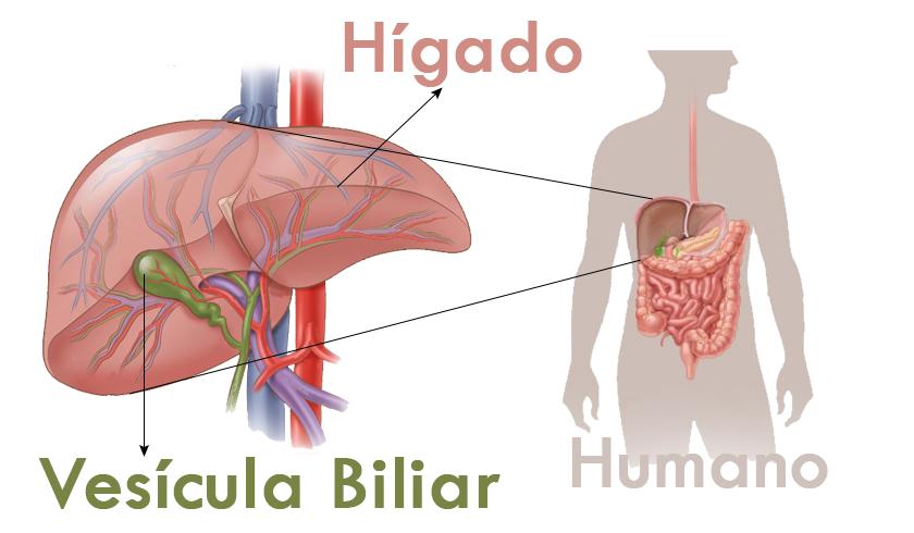Vesícula Biliar - Andres Roldan